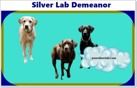 Silver Lab Demeanor and Qualities