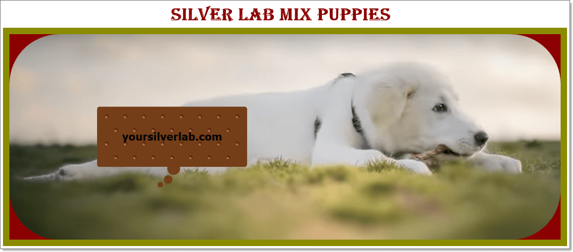Silver Lab Mix Puppies