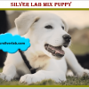 Silver Lab Mix Puppies image