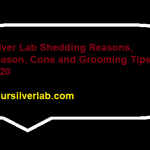Silver Lab Shedding Reasons, Season, Cons and Grooming Tips in 2020