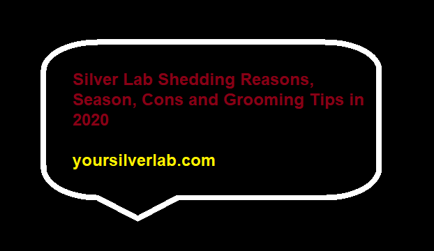 Silver Lab Shedding Reasons, Season, Cons and Grooming Tips
