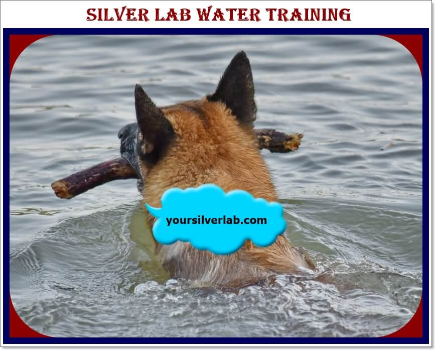 Silver Lab Water Training Tips