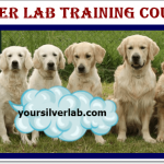 Silver Lab Training sessions