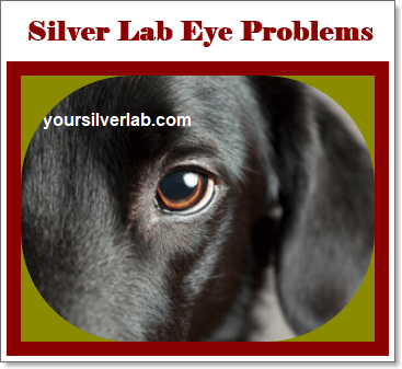 Silver Lab eye Problems and treatment in 2020