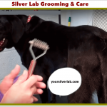 Silver lab Care and Best Grooming Tips for Shedding Period 2021