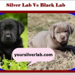 Silver Lab vs Black Lab | History, Traits, Genetics and Trends in 2021