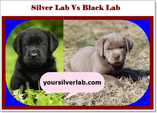 Silver Lab versus Black Lab puppies