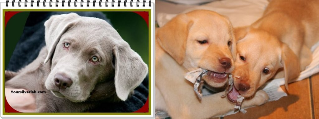 Silver Lab versus Yellow Lab