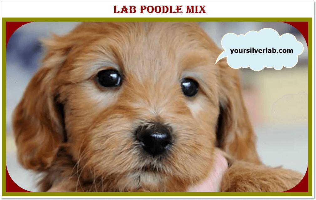 Silver Lab Poodle Mix
