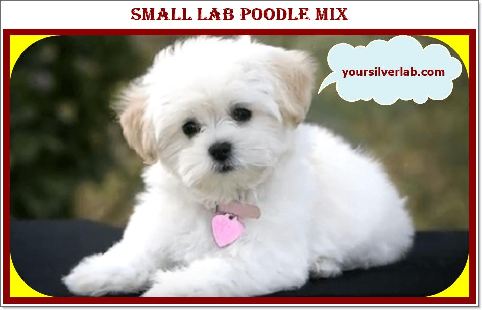 Silver Lab Poodle Mix Lab Poodle 01Mix