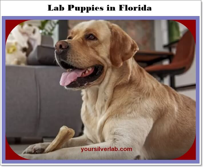 Silver lab puppies for sale in Florida