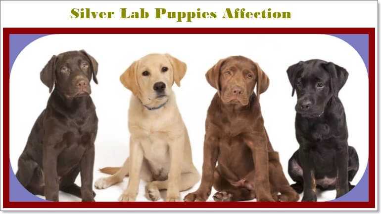 Silver Lab Training sessions and Pets demand from owner