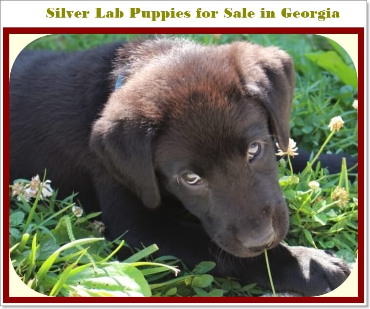 Silver Lab puppies for Sale in Georgia in 2020 with reasonable price.