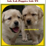 Silver Lab Puppies for Sale in TN-Best Labrador Breeders 2021