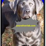 Silver lab puppies for sale in California-Best Labrador Breeders California