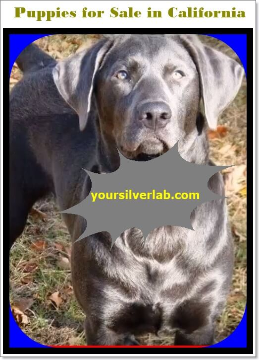 Silver Lab puppies for sale in California with low price