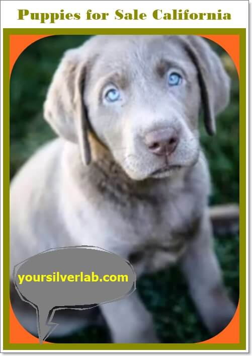 Silver Lab Puppies for Sale in California low price