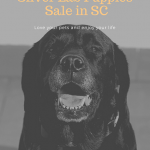 Silver Lab Puppies for Sale in SC-Labrador Breeders in South Carolina