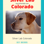 Silver Lab Colorado-Breeders, Price and Money Saving Techniques 2020
