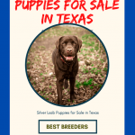 Silver Lab Puppies for Sale in Texas | Top 08 Labrador Breeders [Free List]