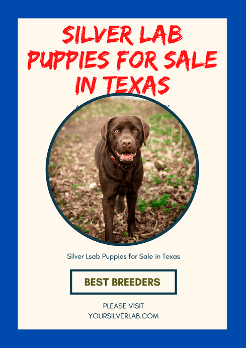 Silver Lab Puppies for Sale in Texas
