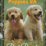 Silver Lab Puppies for sale in VA-Top 05 Breeder in Virginia [2021]