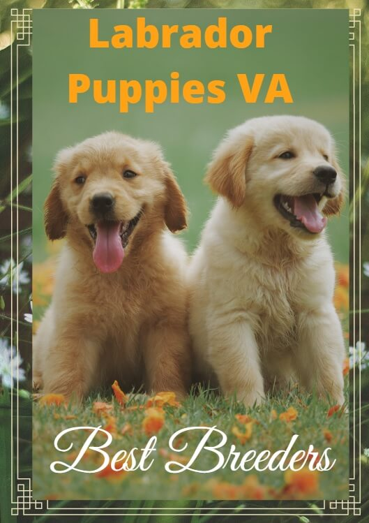 Silver Lab Puppies for Sale in VA