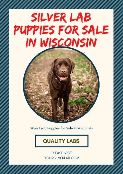 Silver Lab puppies for sale in Wisconsin
