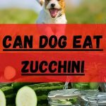 Can dogs eat zucchini? Incredible Health Benefits (Updated 2021)