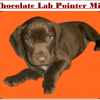 Chocolate Lab Pointer Mix