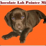 Chocolate Lab Pointer Mix Puppies-Pointerdors Breed Overview 2021