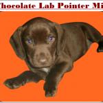 Chocolate Lab Pointer Mix