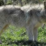 Wolf Dogs for Sale